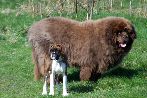 16-biggest-dogs-in-the-world30