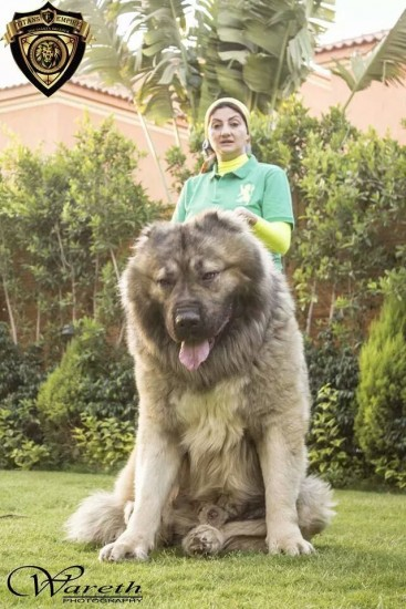16-biggest-dogs-in-the-world31