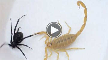 Black Widow vs. Scorpion in Epic Battle to the Death