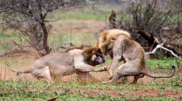See What Happened After These Lions Were Interrupted While Mating