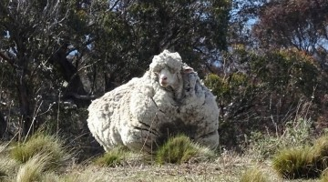 The Sheep Accumulated 88 Excessive Pounds Of Wool And Was On The Verge On Dying Until This Awesome Thing Happened