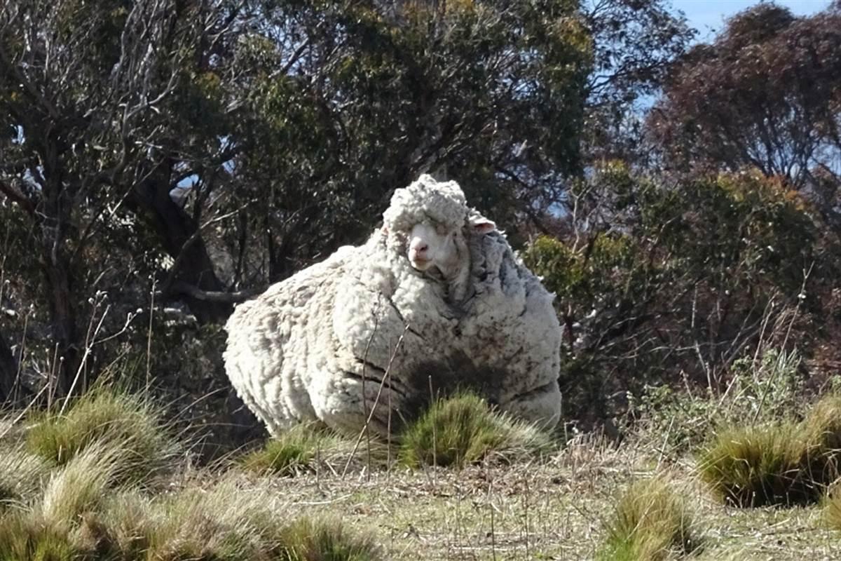 australia-sheep