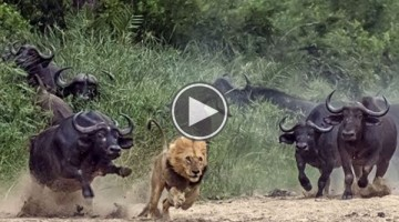 What Happens After These Buffalos Corner This Lion Is Ferociously Shocking