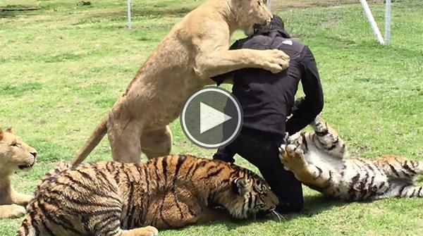 lion attack