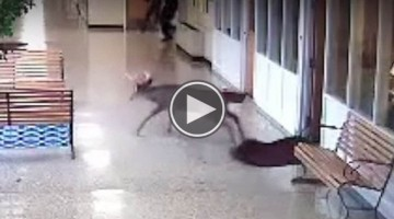 Wild Deer Has The Worst Experience On School's Slippery Waxed Floor