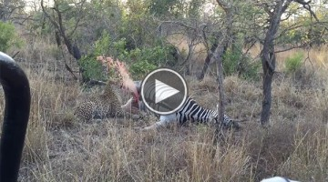 Leopard Gets Surprised from Dead Zebra Carcass Fluid