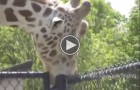 What This Giraffe Is Doing To This Pole Is Weirdest Thing You'll Will See Today